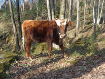 Calf walking in sunny forest. Charming calf at sunny forest glade Stock Image