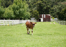 Calf walking up the paddock. Young brown and white calf walking up the paddock stock images