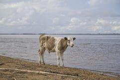 Calf at the watering Stock Image
