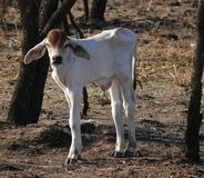 Calf in Western Australia. Royalty Free Stock Photos