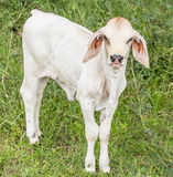 Calf. And White Cheerful disposition in the meadow Royalty Free Stock Images
