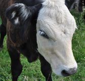 Calf White Face Royalty Free Stock Photography