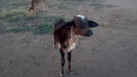 calf royalty free stock photo