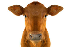 Calf. Young calf against white background Royalty Free Stock Image