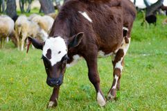 The calf or young bull looks at the camera. Stock Images