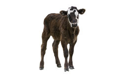 Calf Or Young Cow stock images