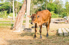 Calf or young cows in the field Royalty Free Stock Photos