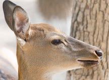 Calf at the zoo Stock Image