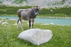在牧场地的公牛calfe 免版税库存图片