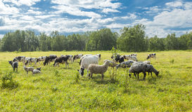 Calfs和羊羔在一个牧场地在一个晴天 免版税库存照片