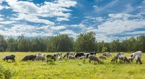 Calfs和羊羔在一个牧场地在一个晴天 图库摄影