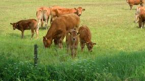 Calfs Fotos de Stock