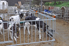 Calfs Stock Foto