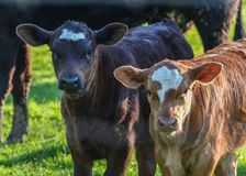 calfs二 免版税库存图片