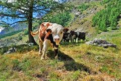Calfs alpien herein Weide, Ackerbau in Valle-dAosta Lizenzfreie Stockbilder