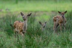 Calfs de cerfs communs rouges dans le pré Image stock