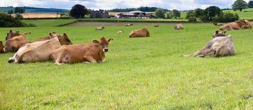 Calfs du Jersey Photo stock