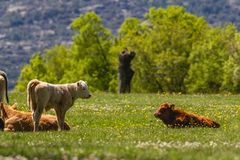 Calfs enjoying the Spring Suns Stock Photo