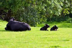 Calfs in the field Stock Photography