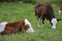 Calfs grazing Royalty Free Stock Images
