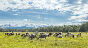 Calfs and lambs on a pasture in a sunny day Royalty Free Stock Photo