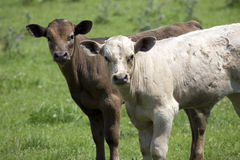 Calfs na gospodarstwie rolnym Obraz Royalty Free