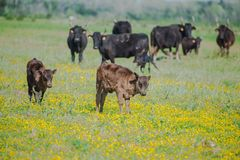 Calfs och tjurar royaltyfri foto