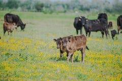 Calfs och tjurar royaltyfri bild