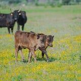 Calfs och tjurar arkivfoton
