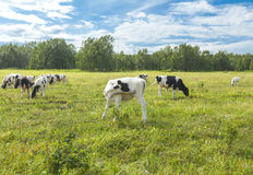 Calfs on a pasture in a sunny day on Kamchatka Stock Photography