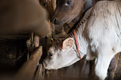 Calfs in a stable Royalty Free Stock Photo