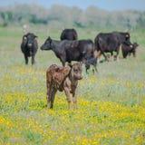 Calfs und Stiere stockbilder