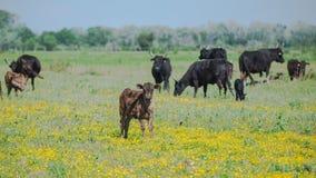 Calfs und Stiere lizenzfreie stockfotos