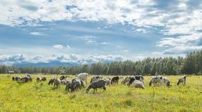 Calfs y corderos en un pasto en un día soleado Foto de archivo libre de regalías