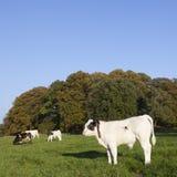 Calfs y vaca jovenes del toro en prado verde con la vaca Fotos de archivo