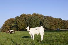 Calfs y vaca jovenes del toro en prado verde con la vaca en el backgro Imágenes de archivo libres de regalías