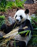 Giant Panda in zoo environment Royalty Free Stock Photo