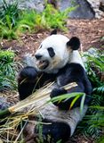 Giant Panda in zoo environment Royalty Free Stock Image