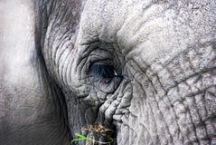 Calha os olhos de um elefante imagem de stock royalty free