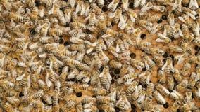 Caliéntese de las abejas recolectadas recolecta la miel en los panales en el jardín, colmenar, vida de insectos, familia de la ab almacen de metraje de vídeo