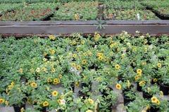 Calibrachoa Calibrachoa-Blumen mit grünen Blättern in den Töpfen Gelbe Blumen, Basisrecheneinheit, Inneres mit Tropfen Selektiver Stockbilder