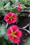 Calibrachoa Calibrachoa-Blumen mit grünen Blättern in den Töpfen Gelbe Blumen, Basisrecheneinheit, Inneres mit Tropfen Selektiver Lizenzfreies Stockfoto