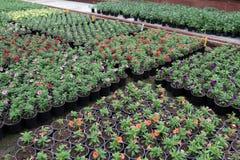 Calibrachoa Calibrachoa-Blumen mit grünen Blättern in den Töpfen Gelbe Blumen, Basisrecheneinheit, Inneres mit Tropfen Selektiver Lizenzfreie Stockfotos