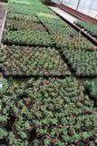 Calibrachoa Calibrachoa-Blumen mit grünen Blättern in den Töpfen Gelbe Blumen, Basisrecheneinheit, Inneres mit Tropfen Selektiver Lizenzfreie Stockfotografie