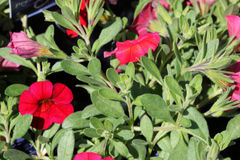 Calibrachoa `Cabaret Bright Red`. Mini petunia, early flowering compact interspecific hybrid cultivar with trailing habit and bright red flowers with pale royalty free stock photos