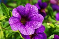 Calibrachoa carnaval, flor de la petunia Fotos de archivo