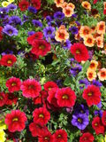 Calibrachoa colorful mix. Calibrachoa is a genus of plants in the Solanaceae (nightshade) family and originates from South America.  They are closely related to Stock Image