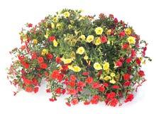 Calibrachoa flowers Stock Photo