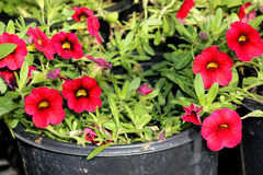 Calibrachoa `Mini Famous Compact Red`, Mini petunia. Early flowering compact interspecific hybrid cultivar with trailing habit and red flowers with chocolate royalty free stock photo