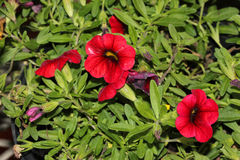 Calibrachoa `Mini Famous Compact Red`, Mini petunia. Early flowering compact interspecific hybrid cultivar with trailing habit and red flowers with chocolate stock images